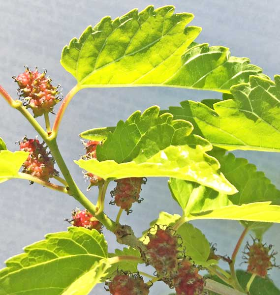 white mulberry leaf benefits