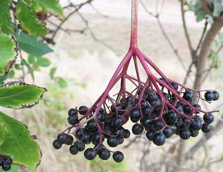 black elderberry for colds