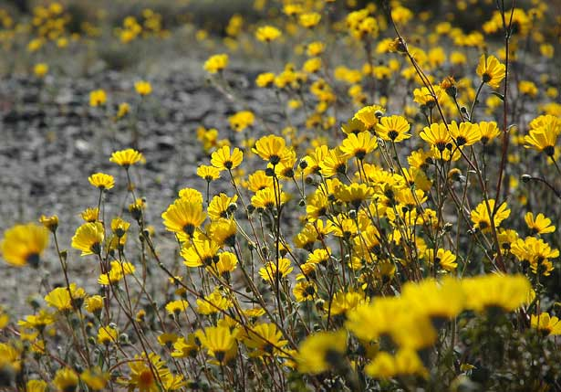 native plant brittlebush plants