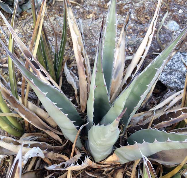 agave americana california native plants