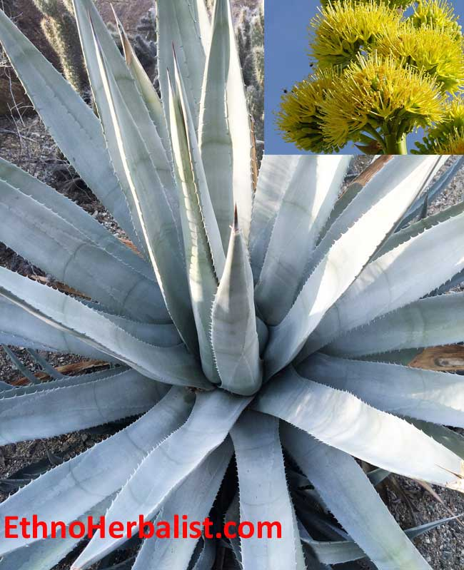 desert agave california native plants