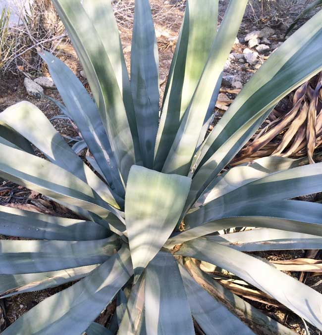 agave natives