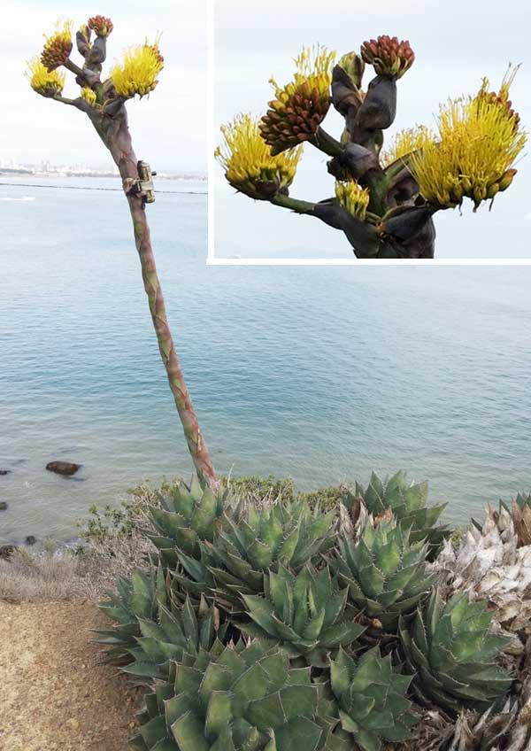 california native plants brittlebush plant
