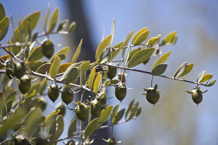 jojaba seed oil