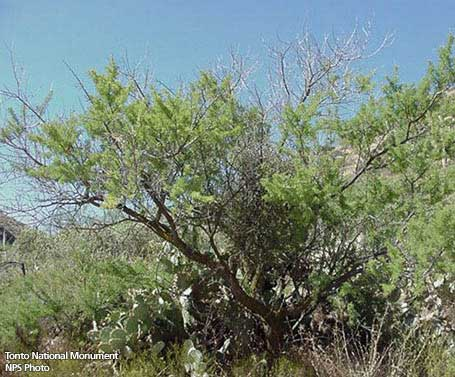 Acacia greggii native southwest plants