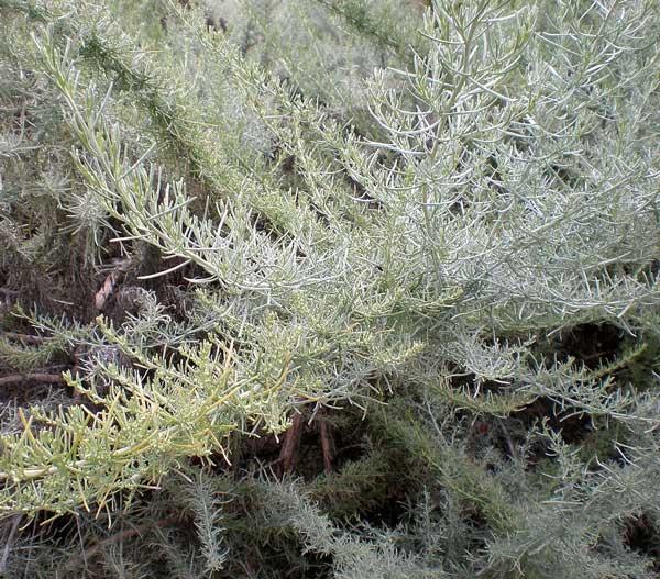Artemisia Californica California sage...