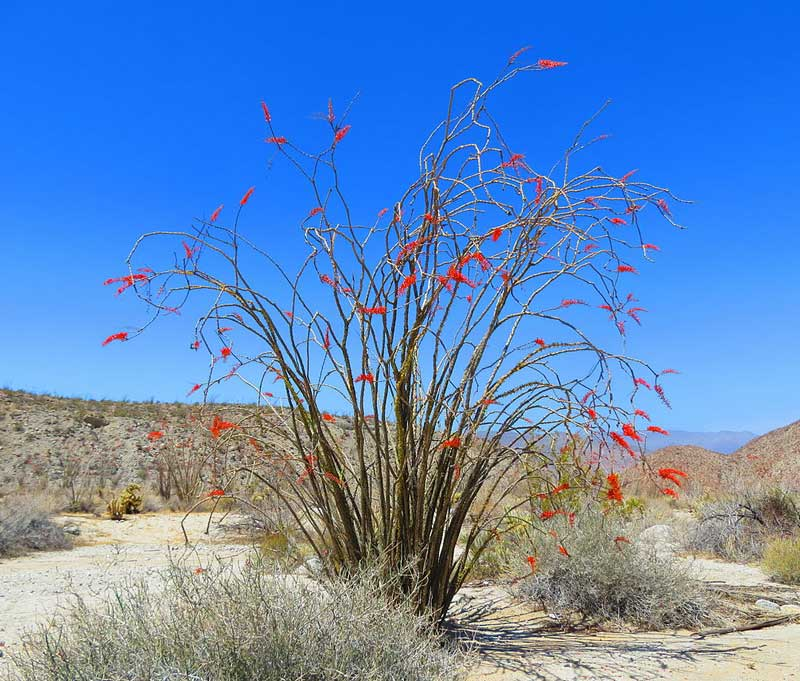 ocotillo uses
