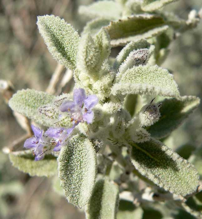 Tiny Purple Flowers On The Desert Lavender Plant