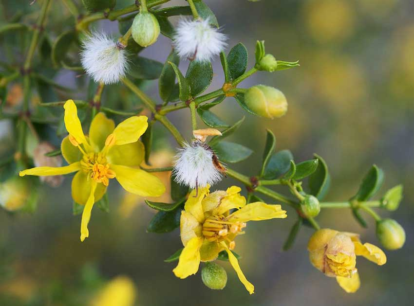 creosote bush uses