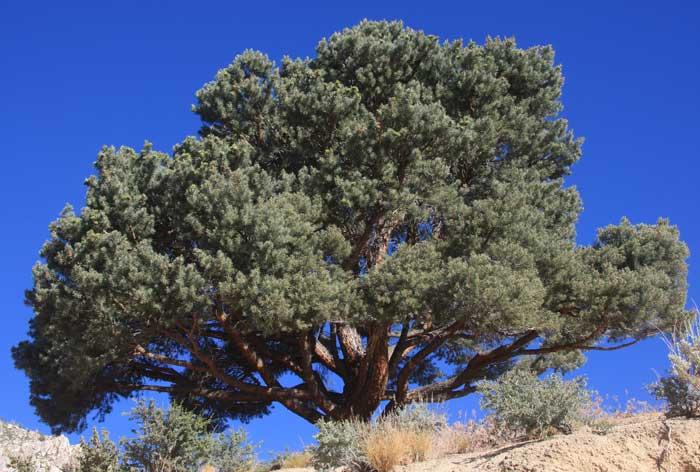 pinyon pinon pine