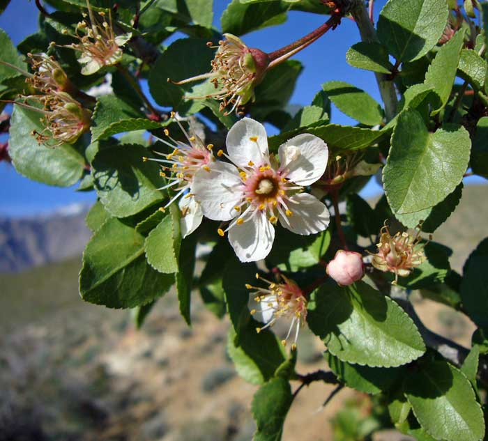Desert apricot a rare treat for the cahuilla people for Southern california native plants