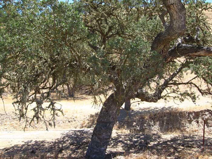 Quercus Agrifolia oak live oak