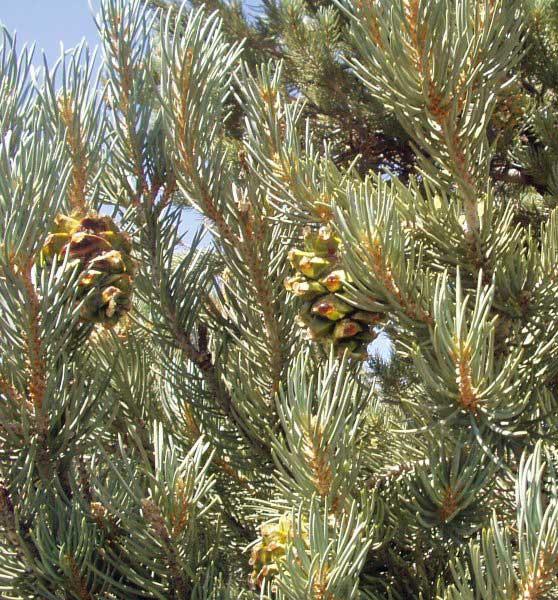 pinyon nuts pine