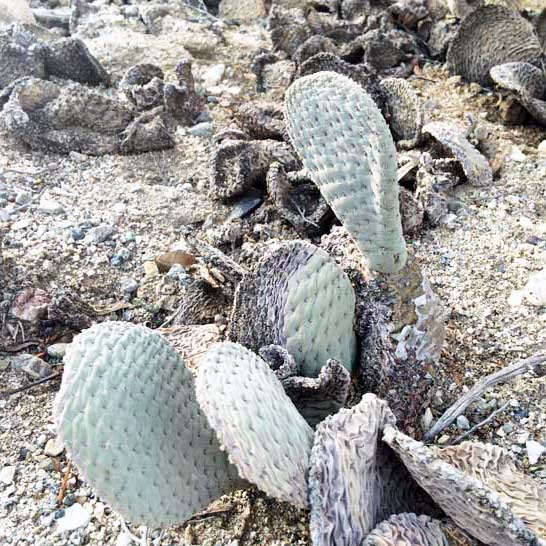 beavertail-cactus