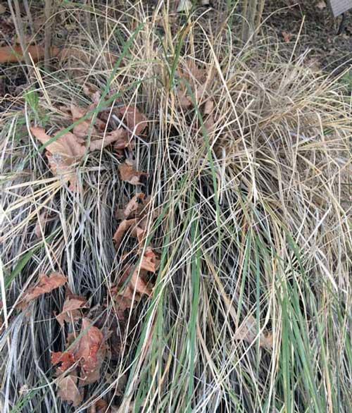 winter deer grass