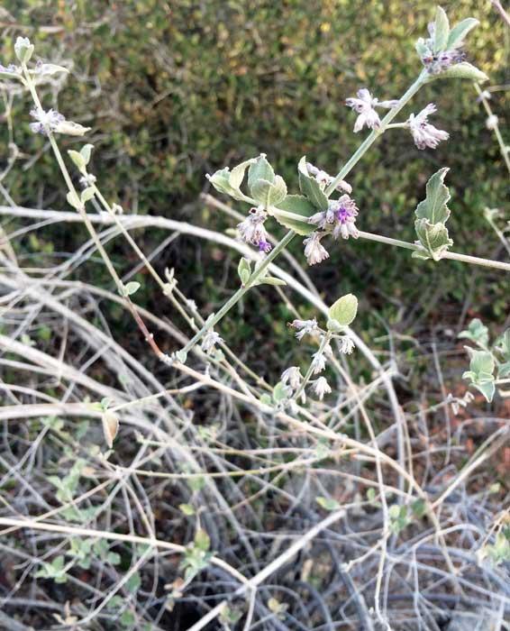 Tiny purple flowers on the desert lavender plant for Purple flower shrub california