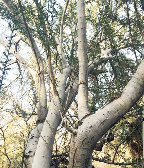 desert ironwood tree