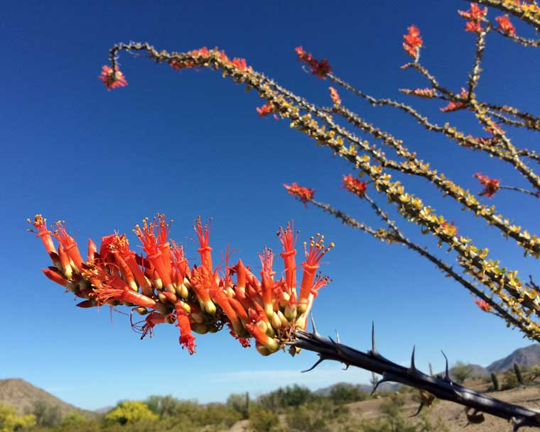 ocotillo in flower