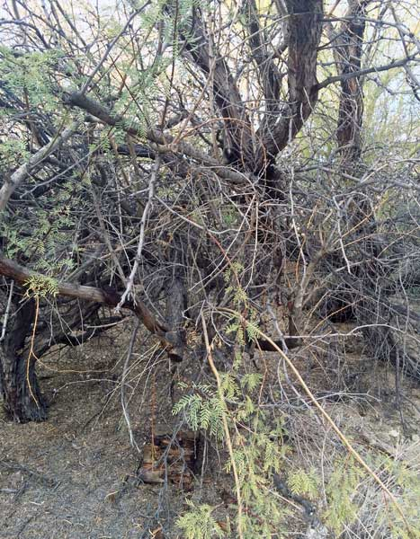 western-honey-mesquite
