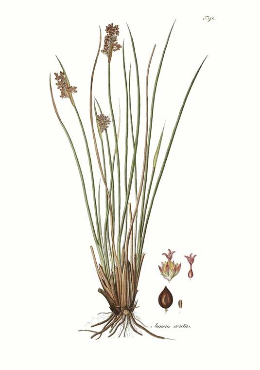 juncus plants