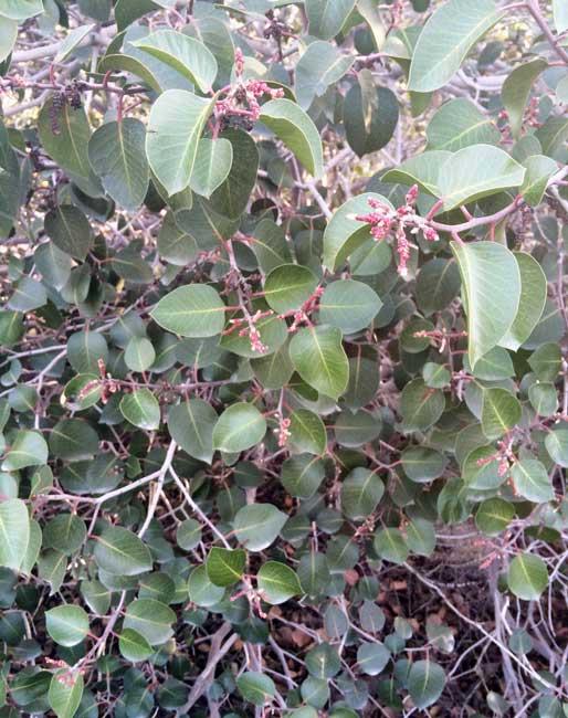 sugar bush rhus