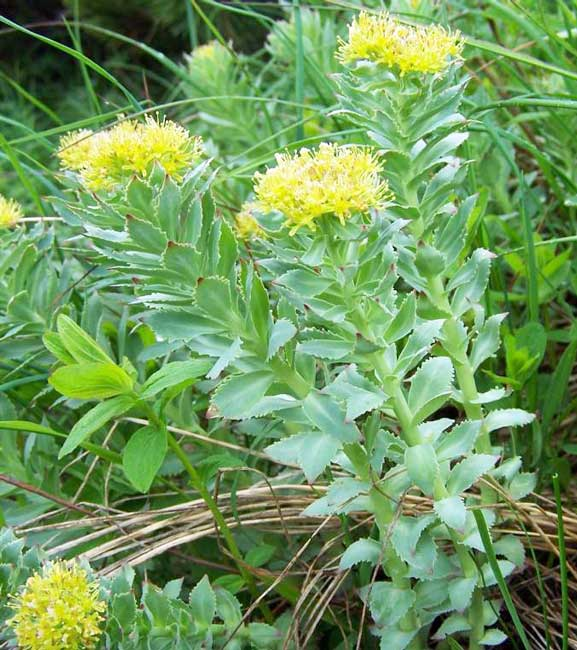 Review of the cultural history and biology of Rhodiola rosea