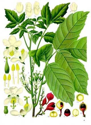 best herbal stimulant
